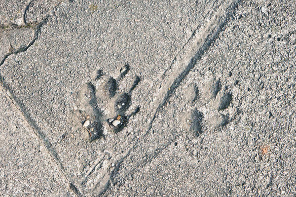 Trace Photograph - Paw Prints by Tom Gowanlock