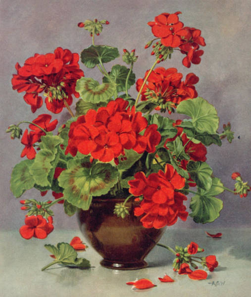 Red Geraniums Wall Art - Painting - Geranium In An Earthenware Vase by Albert Williams