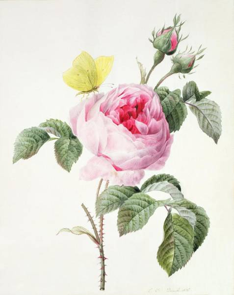 Pretty In Pink Wall Art - Painting - Pink Rose With Buds by Louise D'Orleans