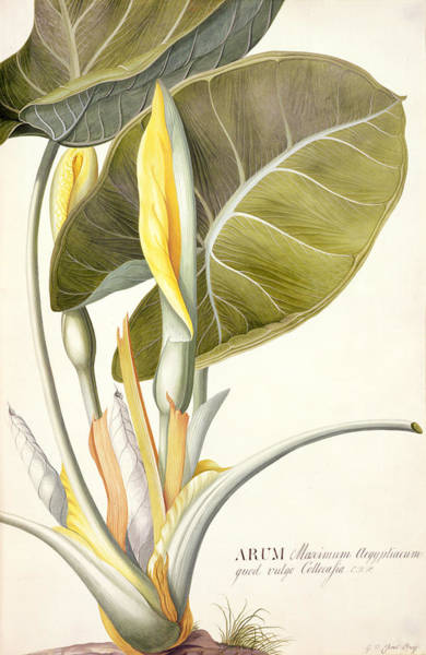 Wall Art - Painting - Arum Maximum by Georg Dionysius Ehret