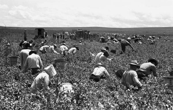 Works Progress Administration Photograph - Pea Pickers, 1941 by Granger