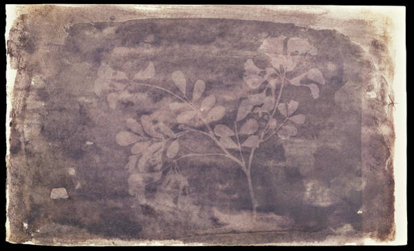 Wall Art - Photograph - Pea Plant By Talbot by The Getty/science Photo Library