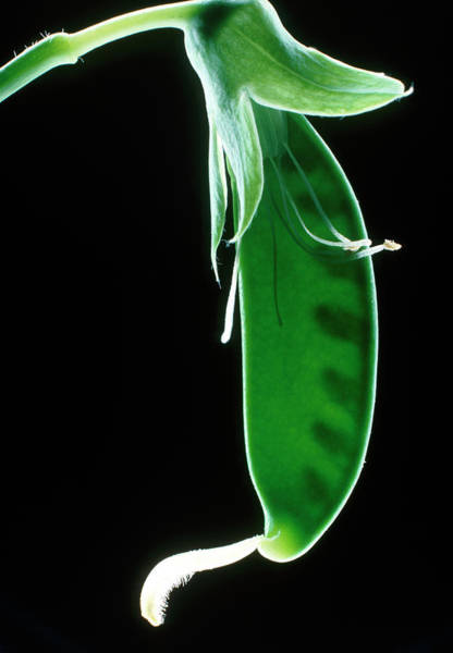 Stamens Photograph - Pea Pod by Dr. Jeremy Burgess/science Photo Library