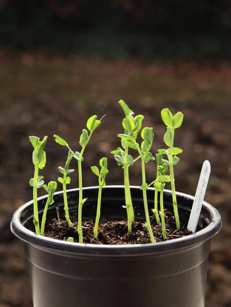 Vegetable Garden Photograph - Pea Shoots Edible In Pot by Simon Battensby