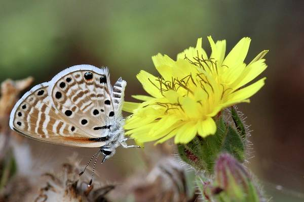 Long Tail Photograph - Peablue Butterfly by Photostock-israel/science Photo Library