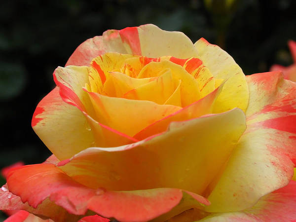 Photograph - Peace Hybrid Tea Rose by Juergen Roth
