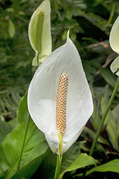 Botanic Photograph - Peace Lily Palm House Ireland by Betsy Knapp