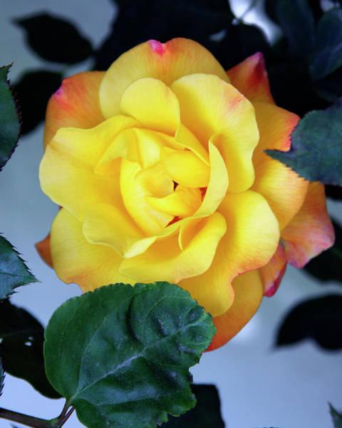 Desert Rose Photograph - Peace Rose Palm Springs by William Dey