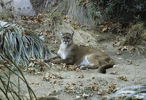 Photograph -  Bobcat by Mae Wertz