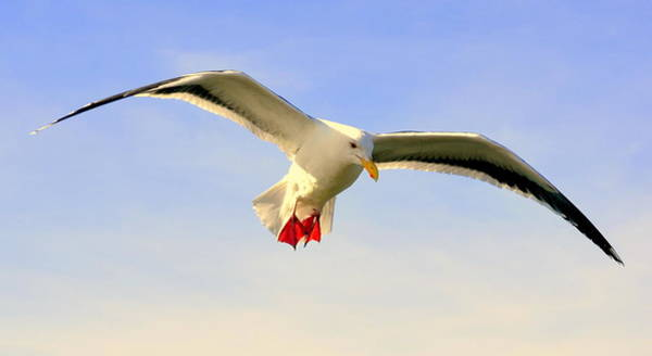 Photograph - Peaceful Flight by AJ  Schibig