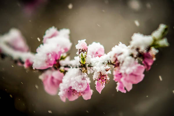 Photograph - Peach Blossom In Snow by Alex Grichenko