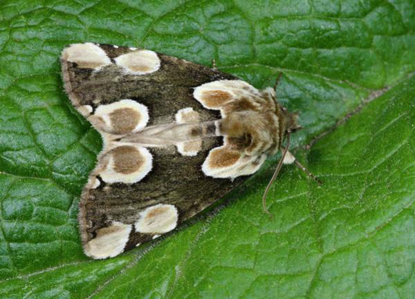Entomological Photograph - Peach Blossom Moth by Nigel Downer