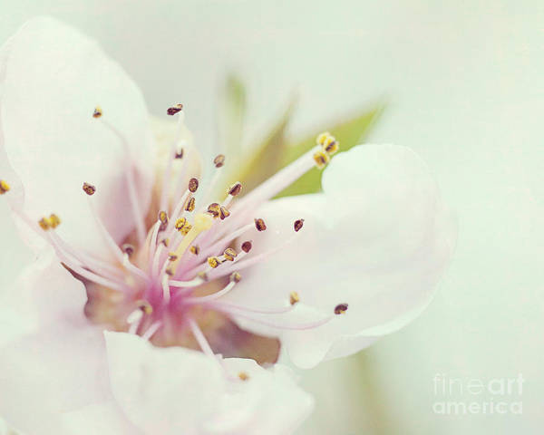Photograph - Peach Blossom by Pam  Holdsworth