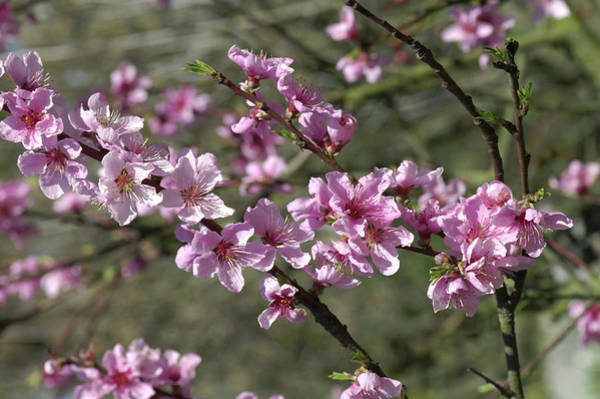 Persica Wall Art - Photograph - Peach Blossom (prunus Persica) by Brian Gadsby/science Photo Library