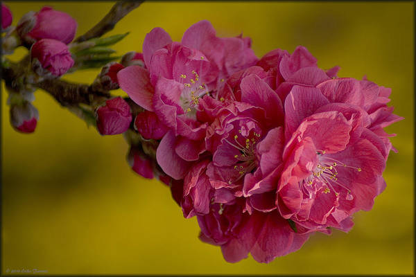 Photograph - Peach Blossoms by Erika Fawcett
