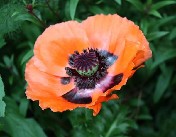 Wall Art - Photograph - Peach Colored Poppy by Cathie Tyler