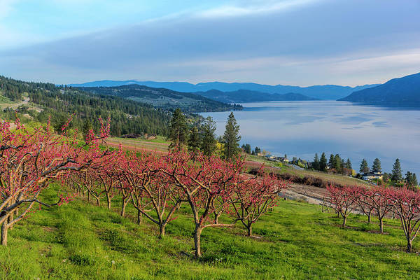 Okanagan Wall Art - Photograph - Peach Orchard In Bloom In Lake Country by Chuck Haney
