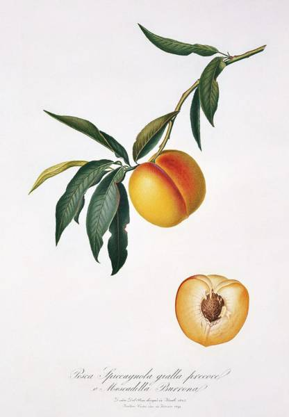 Persica Wall Art - Photograph - Peach Prunus Persica by Natural History Museum, London/science Photo Library