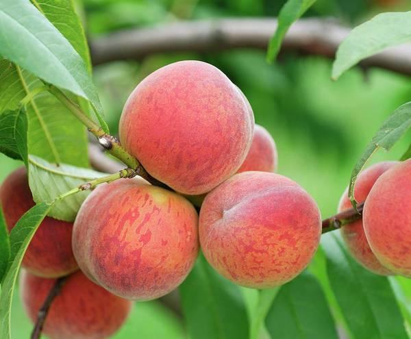 Peaches Photograph - Peach (prunus Persica 'pilot') by Bildagentur-online/mcphoto-muller/science Photo Library