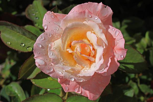Photograph - Peach Rose by Gary Kaylor