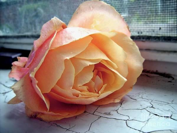 Photograph - Peach Rose by Patricia Strand