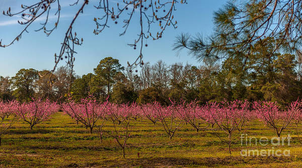 Photograph - Peach Tree A Bloom by Dale Powell