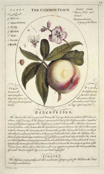 Persica Wall Art - Photograph - Peach Tree Prunus Persica by Natural History Museum, London/science Photo Library