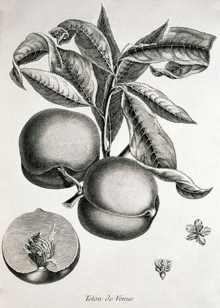 Persica Wall Art - Photograph - Peaches by George Bernard/science Photo Library