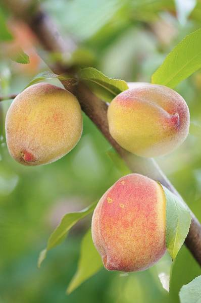 Persica Wall Art - Photograph - Peaches (prunus Persica) by Maria Mosolova/science Photo Library