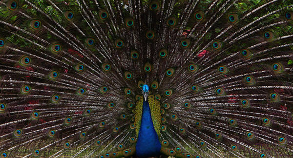 Photograph - Peacock - Looking At You by Richard Reeve