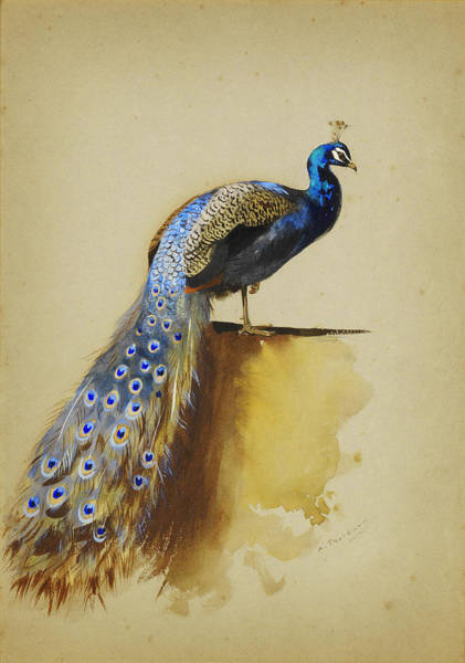 White Peacock Painting - Peacock by Celestial Images