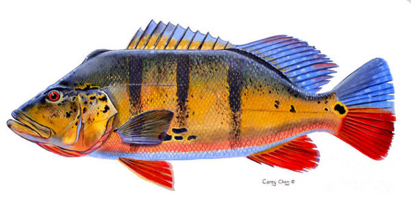Freshwater Painting - Peacock Bass by Carey Chen