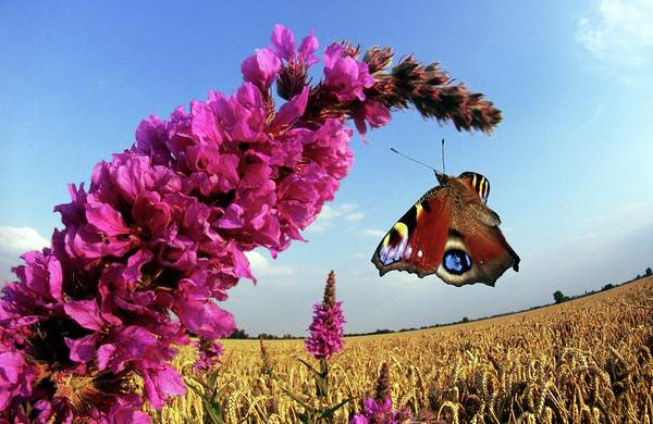 Lythrum Photograph - Peacock Butterfly by Dr. John Brackenbury/science Photo Library