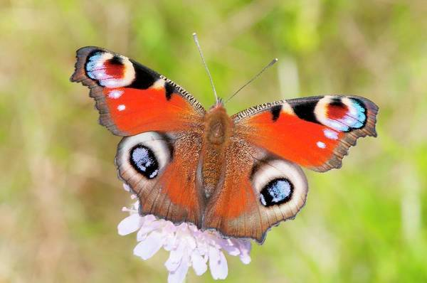 Asteraceae Wall Art - Photograph - Peacock Butterfly (inachis Io) by Dr. John Brackenbury