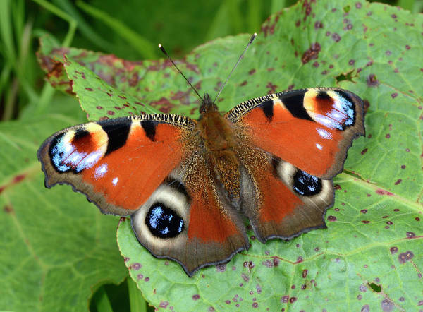 Asteraceae Photograph - Peacock Butterfly by Nigel Downer