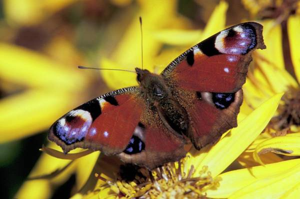 Finnish Photograph - Peacock Butterfly by Pekka Parviainen/science Photo Library