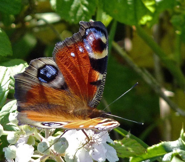 Photograph - Peacock Butterfly by Tony Murtagh