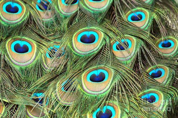 Photograph - Peacock Circles by Adam Jewell