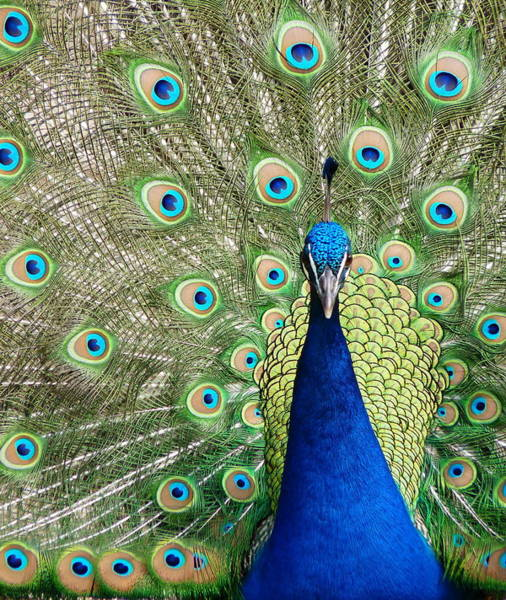 Photograph - Peacock Close Full Display by Jeff Lowe