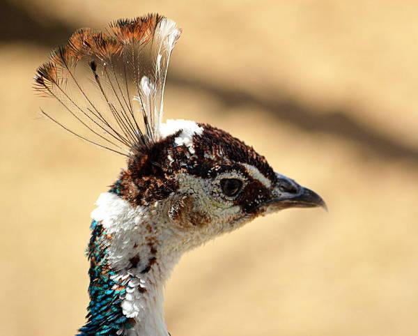 Photograph - Peacock Crest by AJ  Schibig
