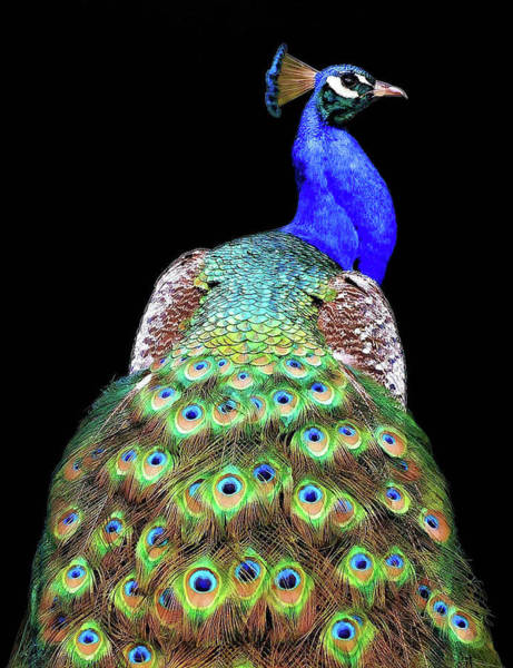Wall Art - Photograph - Peacock by Danny Mendoza