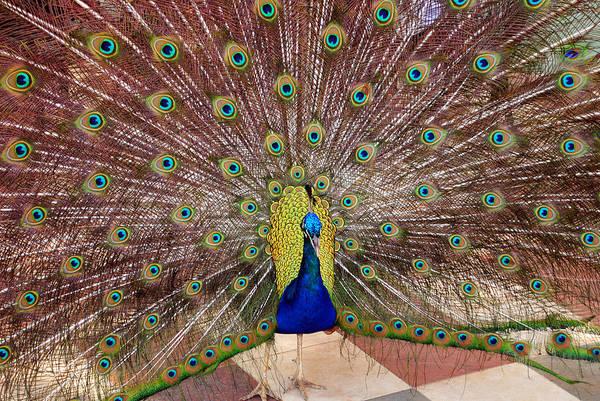 Photograph - Peacock by David Hart