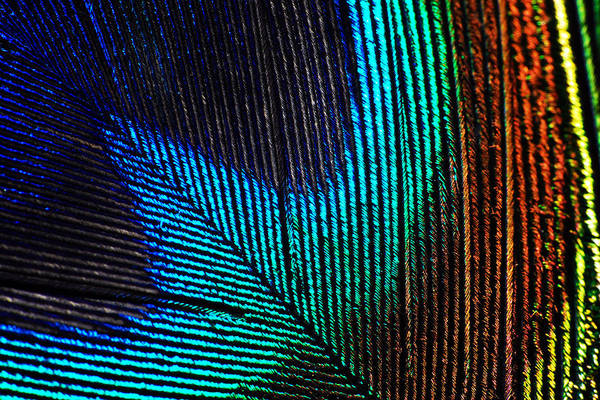 Photograph - Peacock Feather by Larah McElroy