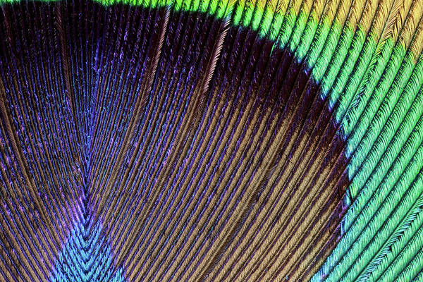 Wall Art - Photograph - Peacock Feather by Nicolas Reusens/science Photo Library