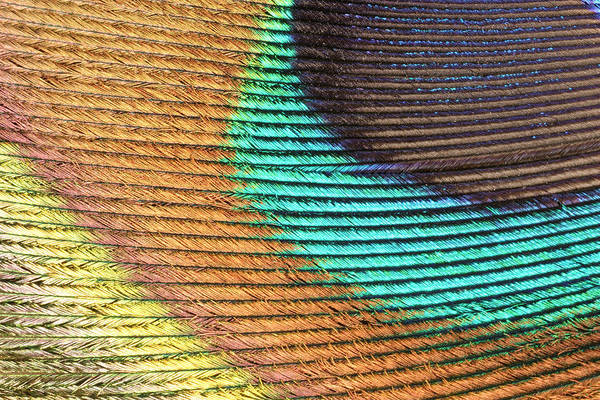 Peacock Feather Art Print by Ted Kinsman/science Photo Library