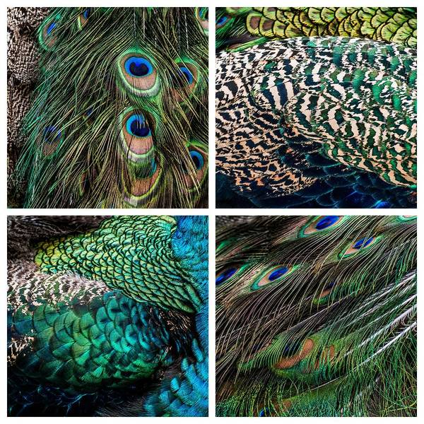 Photograph - Peacock Feathers Collage by Alexander Kunz