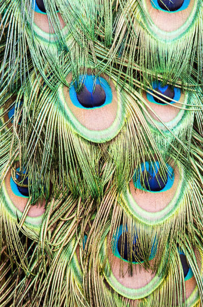 Photograph - Peacock Feathers by Don Johnson