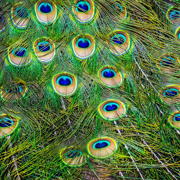 Photograph - Peacock Feathers by Jim DeLillo