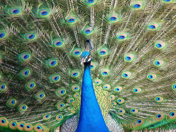 Photograph - Peacock Full Display by Jeff Lowe