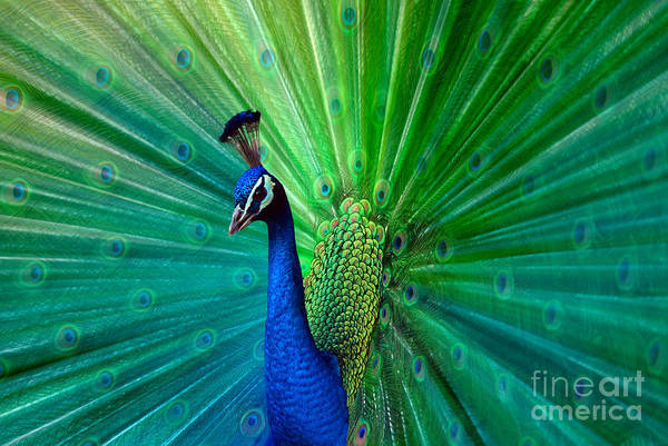 Photograph - Peacock by Hannes Cmarits